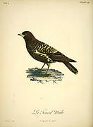 Le Tracal from the Book Histoire naturelle des oiseaux d'Afrique [Natural History of birds of Africa] Volume 4, by Le Vaillant, Francois, 1753-1824; Publish in Paris by Chez J.J. Fuchs, libraire 1805