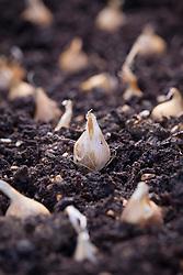 Dutch iris bulbs