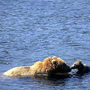 Alaskan Brown Bear, (Ursus middendorffi) Sow and cub fishing in river. Kodiak Island. Alaska