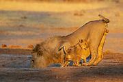 A fmale lion (Panthera leo) with a cub drinking water at a water hole, Savuti, Botswana