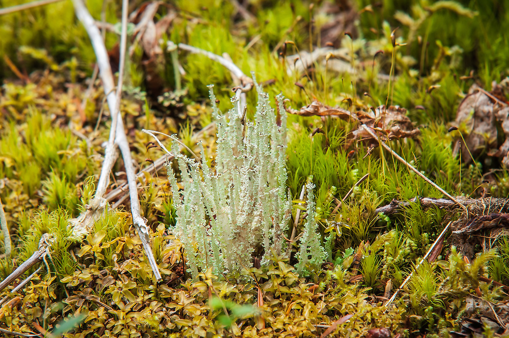 The dragon cladonia is an upright, scaly lichen that is found in wet, dark forests around much of North America and Europe, usually growing on rotting logs. This one was photographed near the Hoh River in the Olympic Mountains in Western Washington.