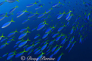 yellowback fusiliers, Caesio teres, Shark Reef Marine Reserve, Beqa Passage, Viti Levu, Fiji ( South Pacific Ocean )