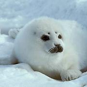 Harp Seal, (Pagophilus groenlandicus) White coat pup in ice cradle on ice pack. Spring. Nova Scotia. Canada.
