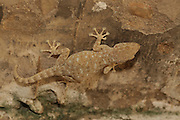 Sinai Fan-fingered Gecko, (Ptyodactylus guttatus) Photographed in Israel in July