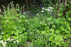 Tellima grandiflora, sweet woodruff and primroses in the woodland garden at Glebe Cottage. Galium odoratum, Primula vulgaris