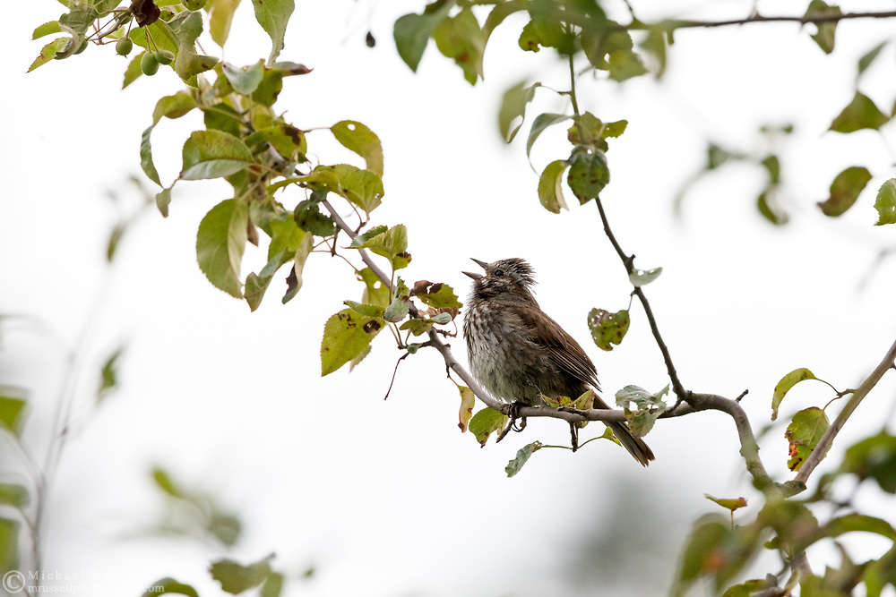 Song Sparrow (Melospiza melodia) perched in a tree singing - at Elgin Heritage Park (near Crescent Beach) in Surrey, British Columbia, Canada.