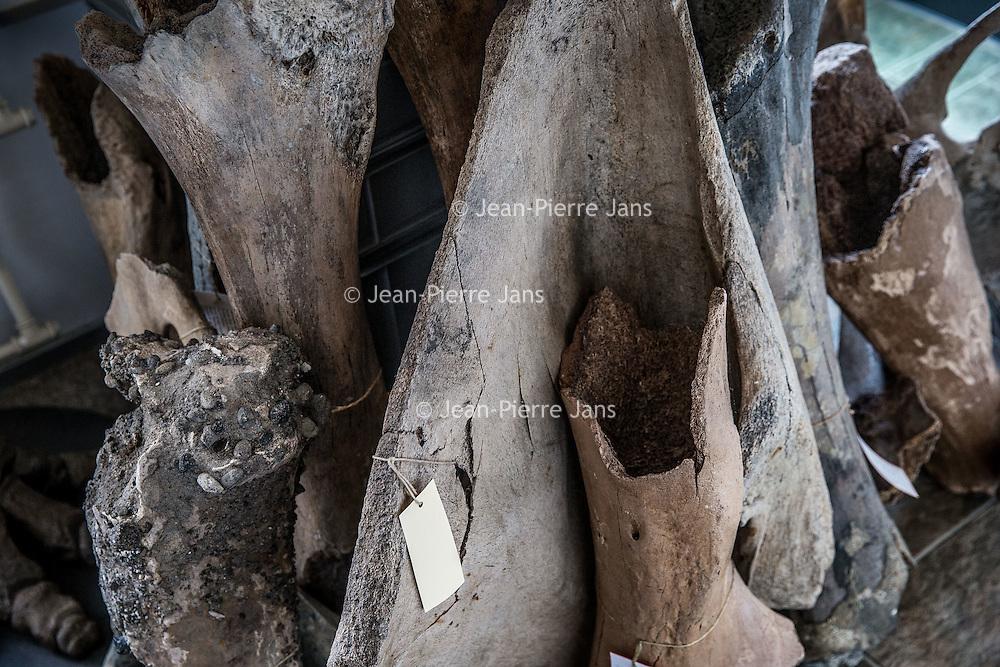 Nederland, Hoofddorp, 21 september 2016.<br /> Dick Mol, de sabeltandkattenexpert toont zijn liefde voor uitgestorven diersoorten zoals de mammoet en de sabeltandkat.Ook heeft hij fossiele hoektanden van deze kat in zijn verzameling.<br /> Op de foto: Mammoetbotten behoren tot de verzameling van Dick Mol.<br /> <br /> <br /> Netherlands, Hoofddorp, September 21, 2016.<br /> Dick Mol, the machairodontinae expert shows his love for extinct animals such as the mammoth and the saber-toothed cat. He also has fang fossil of this cat in his collection. In the photo: Mammoth bones. <br /> <br /> Foto: Jean-Pierre Jans
