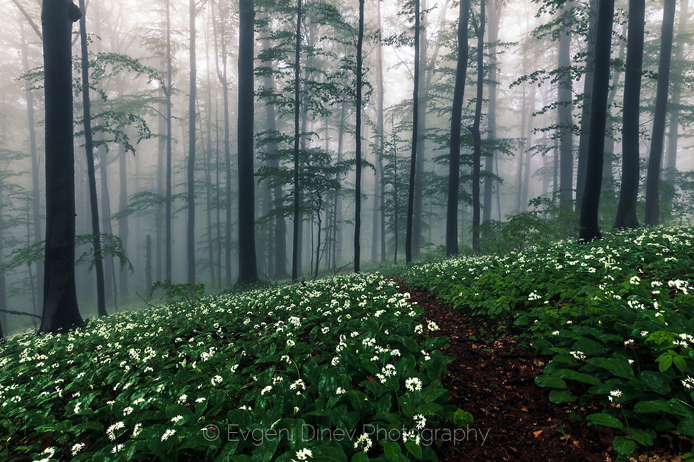 Footpath in a misty forest