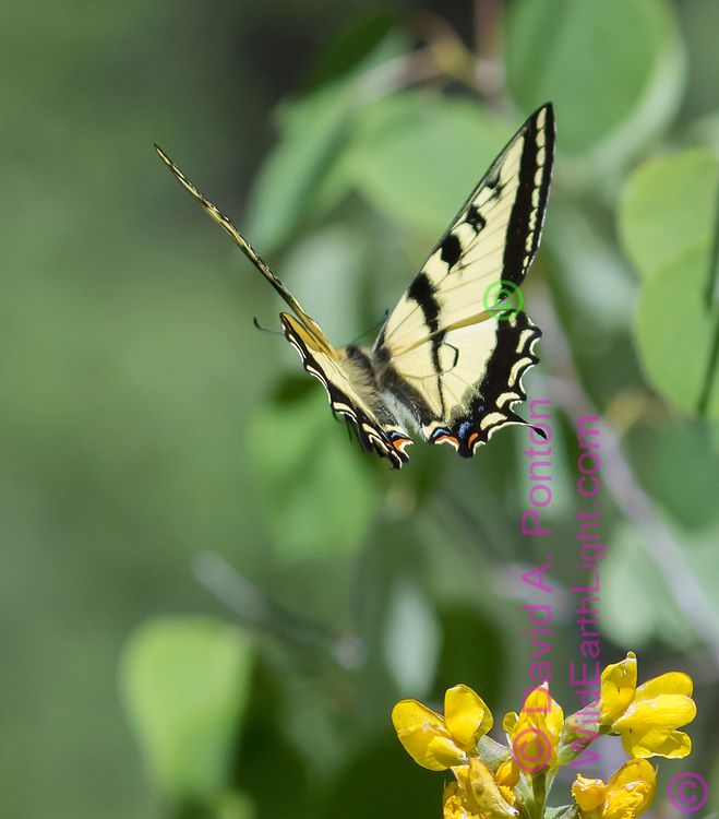 Swallowtail butterfly flies from yellow pea blossom, Jemez Mountains, NM, © David A. Ponton