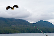 Eagle Nook Wilderness Resort and Spa is located on a remote area of Vancouver Island.  Salmon fishing is one of many activities that the resort offers. A bald eagle comes in for a treat - the toss off of a fish from the boat.
