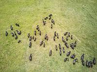 Aerial view of a buffalo herd in Tanzania.