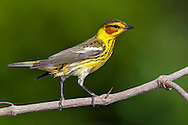 Cape May Warbler - Dendroica tigrina - Adult male breeding