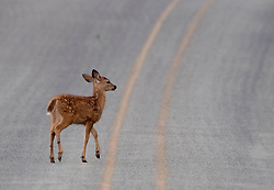 August 4, 2017 - Kellogg, OREGON, U.S - A black tailed deer fawn crosses a road in rural Douglas Country, Ore., near Kellogg. The little deer made if to safety on the other side of the road before any cars came along. (Credit Image: © Robin Loznak via ZUMA Wire)