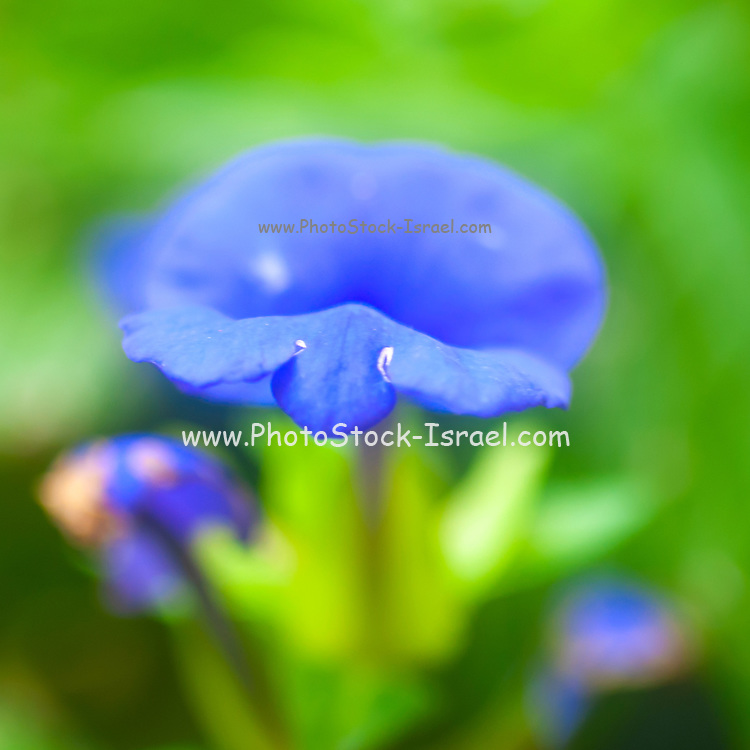 Flowering Brazilian Snapdragon or Amazon Blue (Otacanthus azureus) Photographed in November