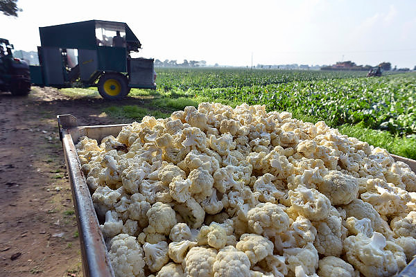 Nederland, Siebengewald, 3-10-2014Poolse arbeiders oogsten bloemkool. Deze wordt meteen gehakt, gesneden zodat kleine bloemkooltjes ontstaan die direct door de levensmiddelenfabrikant geblancheerd en ingevroren worden.Bloemkoolveld in Noord LimburgFarm field of Cauliflowers is harvested.FOTO: FLIP FRANSSEN/ HOLLANDSE HOOGTE