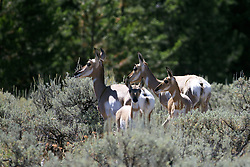 Pronghorn Antelope, two does and two fawns in Grand Teton National Park