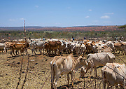 DROUGHT IN ETHIOPIA<br /> <br /> The Borana tribe, part of Oromo people who make up around a third of the Ethiopian population, is suffering from drought for months. Cows are dying, meanwhile many people are complaining the lack of support from the government, thus generating massive uprisings, repressions and killing hundreds of protesters.<br />  Borana live in Kenya, Ethiopia and Somalia with a population of 500,000. They are semi pastoralists. Their life depends on their livestock, which are their only wealth. Their cattle are used in sacrifices and also as dowry or to pay legal fines. For one year, there has been no rain and more than 15,000 cows have died in Ethiopia.<br /> <br /> Photo shows: Cows suffering from the drought grouped in fences to be fed by the governement, Oromia, Yabelo, Ethiopia<br /> ©Eric lafforgue/Exclusivepix Media