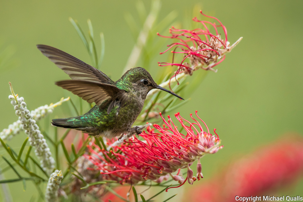 Anna's Hummingbird perched on a Grevillea spike.