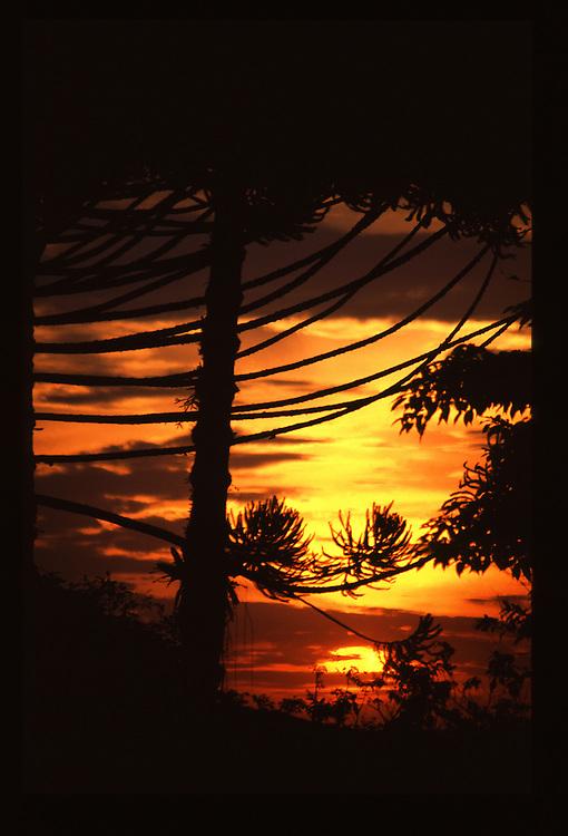 Monte Verde_MG, Brasil.<br /> <br /> Por-do-sol em mata de araucaria (Araucaria angustifolia) em Monte Verde, Minas Gerais.<br /> <br /> The sunset in Parana pine, Brazilian pine or candelabra tree forest (Araucaria angustifolia) in Monte Verde, Minas Gerais.<br /> <br /> Foto: JOAO MARCOS ROSA / NITRO