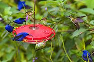 Male and female Purple Honeycreepers (Cyanerpes caeruleus) dominate a hummingbird feeder. Trinidad