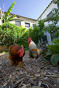From 2008. Wandering Rooster in garden of LA Eco-Village. Started in 1993, LA Eco-Village demonstrates the processes for creating a healthy neighborhood ecologically, socially and economically and to reduce environmental impacts while raising the quality of neighborhood life.