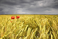 July 21, 2019 - Two Red Poppies In Wheat Field (Credit Image: © John Short/Design Pics via ZUMA Wire)