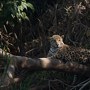 A large male jaguar (Panthera onca) takes a break on a dead tree hanging out over the river. Pantanal, Brazil