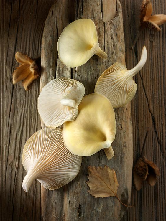 Fresh picked edible yellow or golden oyster mushrooms (Pleurotus citrinopileatus)