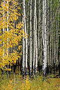 stand of Aspens (Populus tremuloides) shows autumn colors.  Banff National Park, Alberta, Canada