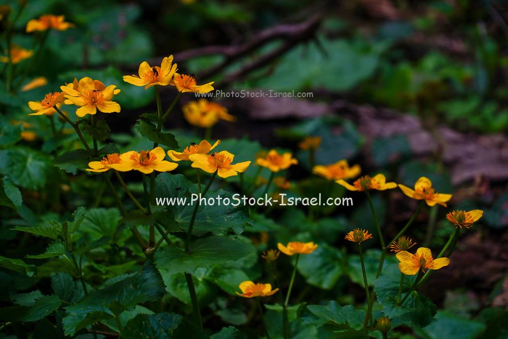 Beautiful orange flower in a park in Bucharest, Romania in May