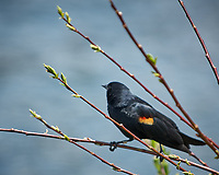 Red-winged Blackbird. Rocky Mountain National Park. Image taken with a Nikon D2xs  camera and 70-200 mm f/2.8 lens + 1.4x teleconverter.