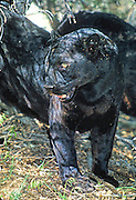 Black Panther in Forest