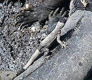 A lava lizard mounts a Galapagos Marine Iguana (Amblyrhynchus cristatus) at Punta (Point) Espinoza, on Fernandina (Narborough) Island, Galápagos Islands, a province of Ecuador, South America. Marine Iguanas, the world's only sea-going lizard species, are found nowhere else on earth. Marine Iguanas feed almost exclusively on marine algae, expelling the excess salt from nasal glands while basking in the sun, coating their faces with white. Marine Iguanas live on the rocky shore or sometimes on mangrove beaches or marshes. Most adults are black, some grey, and the young have a lighter colored dorsal stripe. The somber tones allow the species to rapidly absorb the warm rays of the sun to minimize the period of lethargy after emerging from the frigid water, which is cooled by the Humboldt Current. Breeding-season adult males on the southern islands are the most colorful and will acquire reddish and teal-green colors, while Santa Cruz males are brick red and black, and Fernandina males are brick red and dull greenish. The iguanas living on the islands of Fernandina and Isabela (named for the famous rulers of Spain) are the largest found anywhere in the Galápagos. The smallest iguanas are found on Genovesa Island. Fernandina Island was named in honor of King Ferdinand II of Aragon, who sponsored the voyage of Columbus.