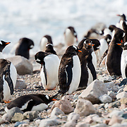 Gentoo penguins on the shoreline at Neko Harbour on the Antarctic Peninsula.
