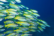 Indian snapper,  Lutjanus madras,<br /> Mabul Island off Borneo, Sabah, <br /> Malaysia ( Celebes Sea )