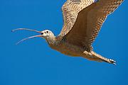 Long-billed curlew in flight on breeding range in Wyoming