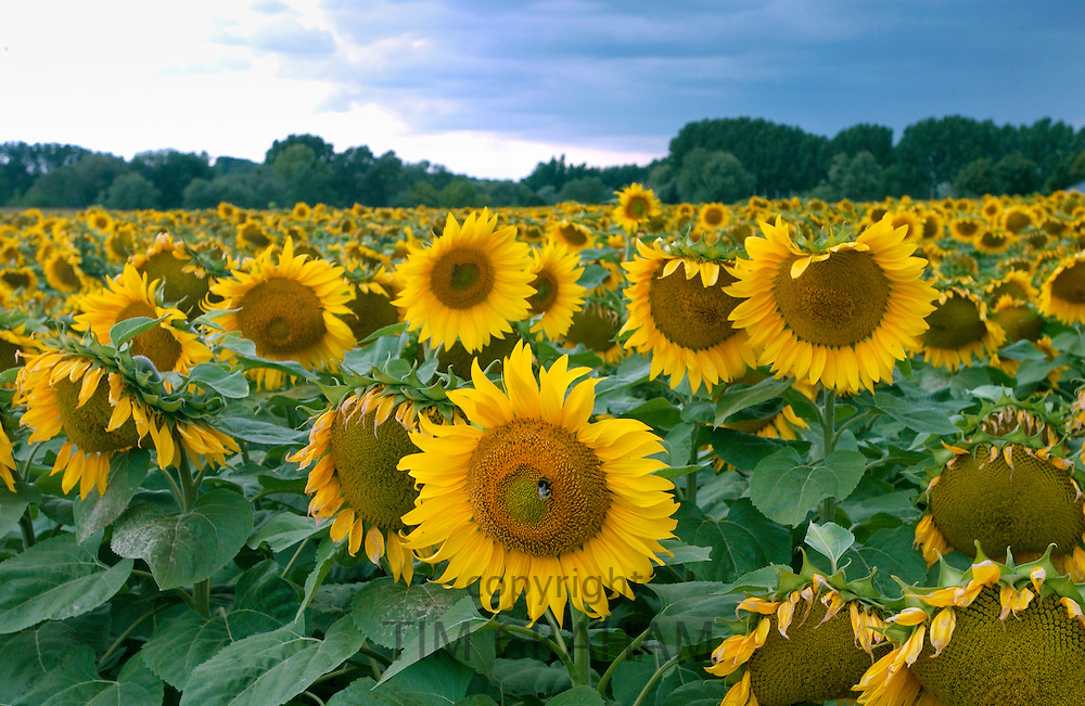 Bees on sunflower plants in the Loire Valley in France