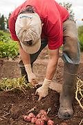 Tim Lanfri digs up red potatoes