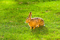 Sweden, Stockholm. European hare.
