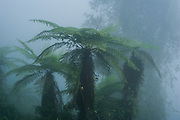 The Giant or King Fern, (Angiopteris evecta) (Family: Marattiaceae)<br /> Invasive species from South Pacific<br /> Arunachal Pradesh<br /> North East India
