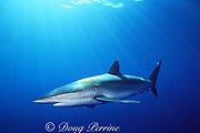 silky shark, Carcharhinus falciformis, Tongue of the Ocean, Bahamas ( Western Atlantic Ocean )