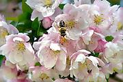 Nederland, Ubbergen, 8-5-2013Een bij zit in de kelk van een bloem op de stampers en meeldraden. Het stuifmeel blijft op zijn lijf plakken en daarmee zorgt hij voor de bevruchting. Een boom in bloei.Foto: Flip Franssen/Hollandse Hoogte