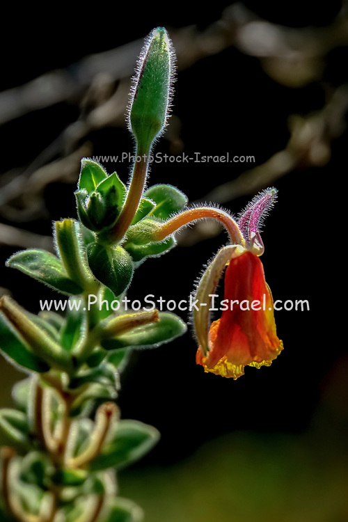 closeup of a flower with orange petals, a bud and green leafs