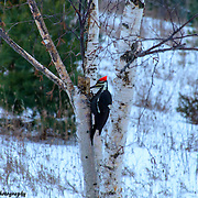 Pileated Woodpecker Looking For Breakfast