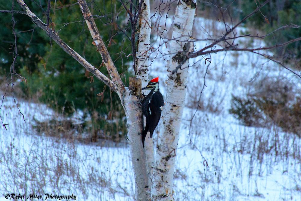 Pileated Woodpecker Looking For Breakfast