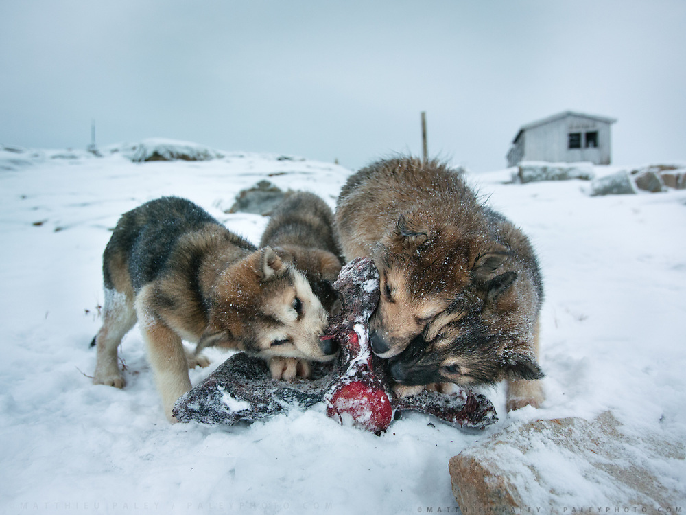 Bent Igniatiussen feeding his sled dog with killer whale meat. Life in and around the small Inuit settlement of Isortoq (population of 64), in East Greenland.