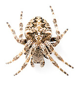 Araneus angulatus - female. A large summer maturing orb buider that is uncommon in the south of the UK. It builds orb webs in scrub and woodland. Often the webs are high up and strung across large gaps in the vegetation canopy.