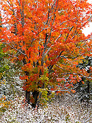 Snow dusts maple trees in late September, in Superior National Forest, Minnesota, USA