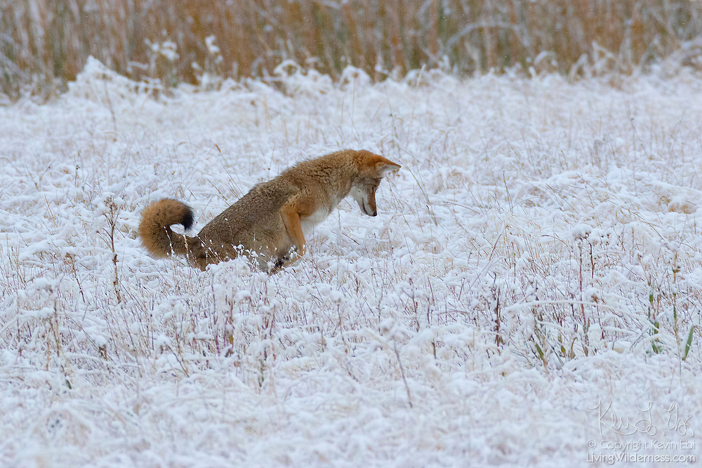 A coyote (Canis latrans) prepares to pounce in the snow for prey in a field along the Madison River in Yellowstone National Park, Wyoming.