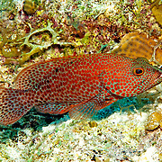 Grasby inhabit reefs in Tropical West Atlantic; picture taken San Salvador, Bahamas.